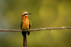 2_white-fronted-bee-eater-Merops-bullockoides