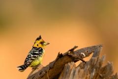 crested-barbet-Trachyphonus-vaillantii