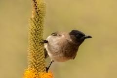 dark-capped-bulbul-Pycnonotus-tricolor