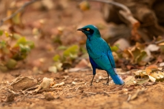 greater-blue-eared-starlingLamprotornis-chalybaeus-