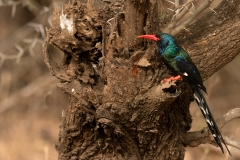 green-wood-hoopoe-Phoeniculus-purpureus