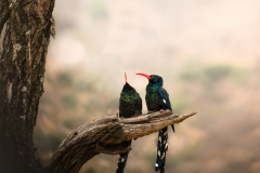 green-wood-hoopoe-Phoeniculus-purpureus1