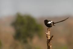 magpie-shrike-Urolestes-melanoleucus