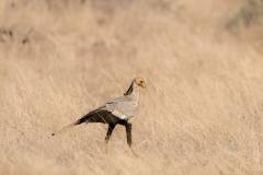 secretary-bird-Sagittarius-serpentarius