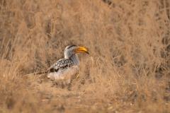 southern-yellow-billed-hornbill-Tockus-leucomelas