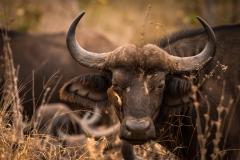 Buffalo_oxpecker